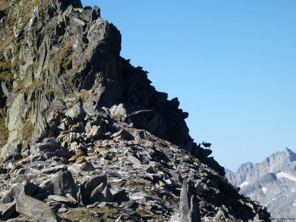 Steinbock auf der Kante